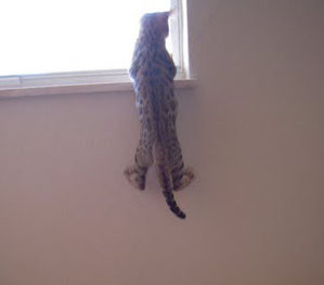 bengal cat hanging from window