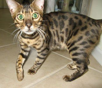 bengal cat face