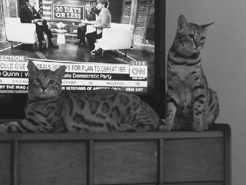 bengal cats watching tv