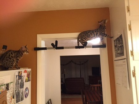 bengal cat climbing up onto stuff