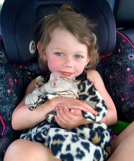 bengal kitten cuddling with little girl