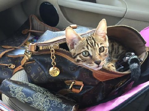 bengal cat in purse