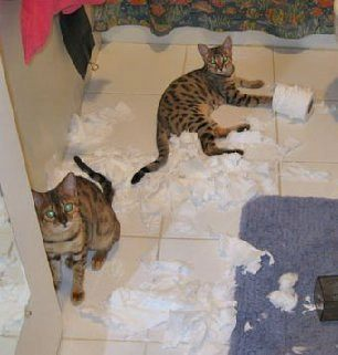 bengal kittens found the toilet paper