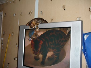 bengal cat playing with tv screen