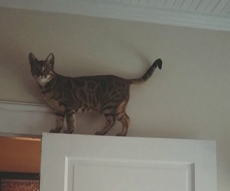 bengal cat on top of door