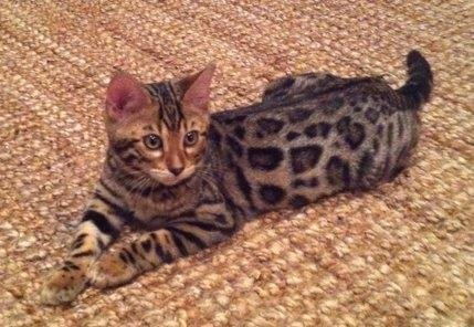 rosetted bengal kitten