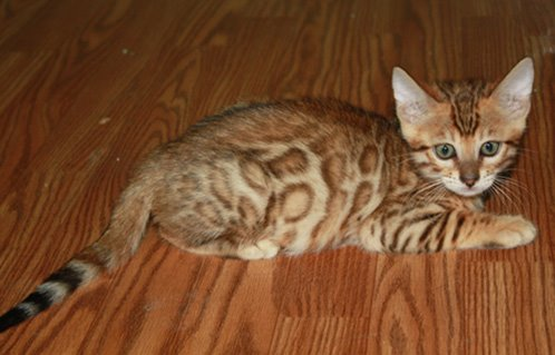Bengal Kittens for Sale | Florida | Zawieco Bengals