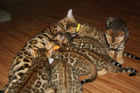 Bengal Kittens For Sale Florida Zawieco Bengals