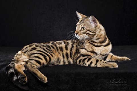 Bengal kittens for sale in Florida