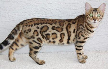 Bengal Cat Queens | Florida | Zawieco Bengals