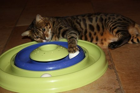 Bengal Cat Retired Queens | Florida | Zawieco Bengals